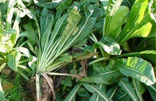 菊苣的功效与作用及药膳做法