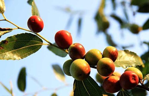 酸枣的功效与作用及药膳做法