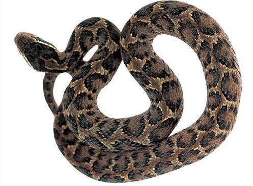 蝮蛇的功效与作用及药膳做法